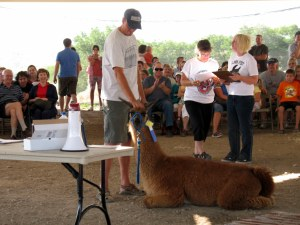 This llama was uninterested in doing the obstacle course, but did kneel down when his trainer told him to