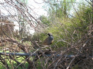 Lots of quail live nearby and make appearances in our backyard from time to time.