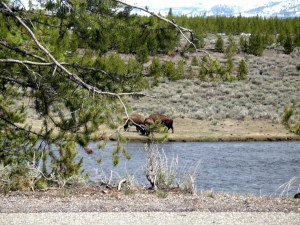 Our first glimpse of buffalo on Monday was these 3 butting heads across the river.