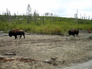 Here a line of about 6 buffalo came marching past us off to the side of the road.