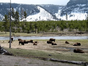It was so fun to see a herd of buffalo and imagine what a big herd must have looked like. You know, back before we killed them all.