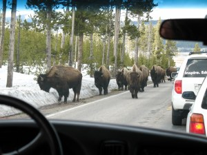 This wasn't so much a herd as a swarm of buffalo.
