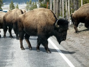 Some of the buffalo crossed to our side of the road.
