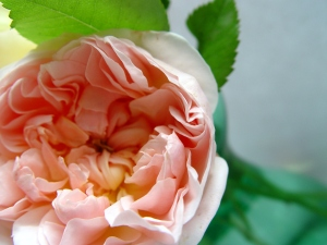 I'm not a fan of roses in general, but English roses are so fragrant and blossomy.