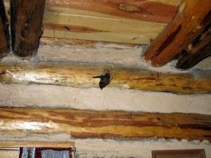 A little bat, not a giant moth. Whew!